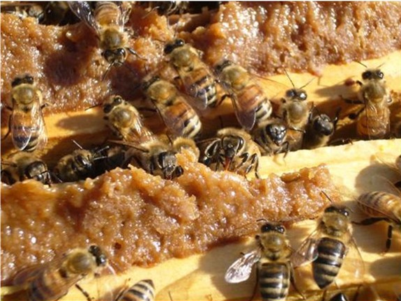 Nurse bees eating supplement
