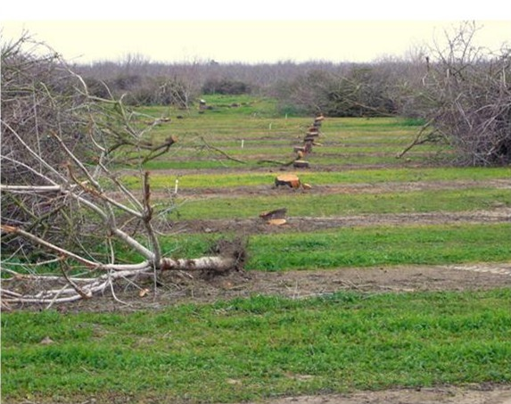 Almond orchard being