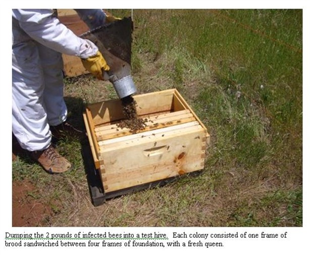 Dumping infected bees into a test hive