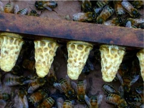 IPM 2 Fighting Varroa 2: Choosing your Troops: Breeding Mite