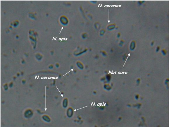 Nosema apis and ceranae spores side by side