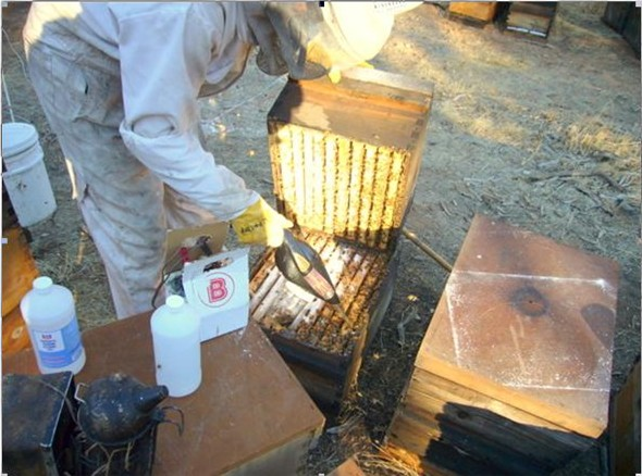 Vacuuming up a bee sample for an alcohol wash