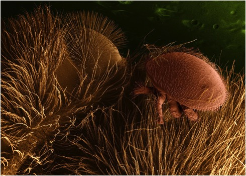 The varroa mite is tiny and blind, and experiences the world in ways nearly incomprehensible to humans. To beat the mite, we need to learn to understand how varroa exists at the scale in the photo above. Photo credit ARS, public domain.