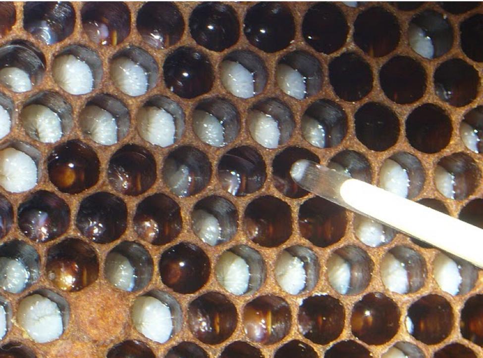 Queens For Pennies - Scientific Beekeeping