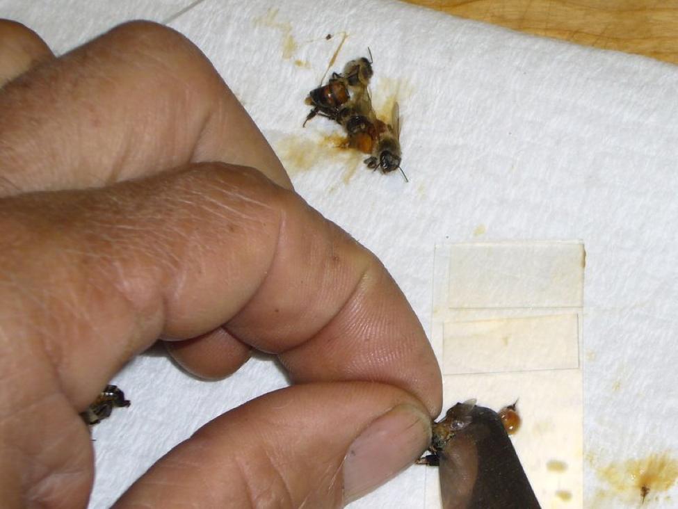 N  ceranae Archives - Scientific Beekeeping