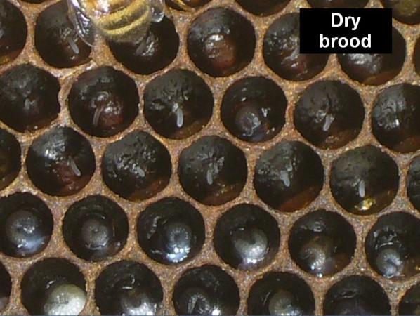 Dry brood