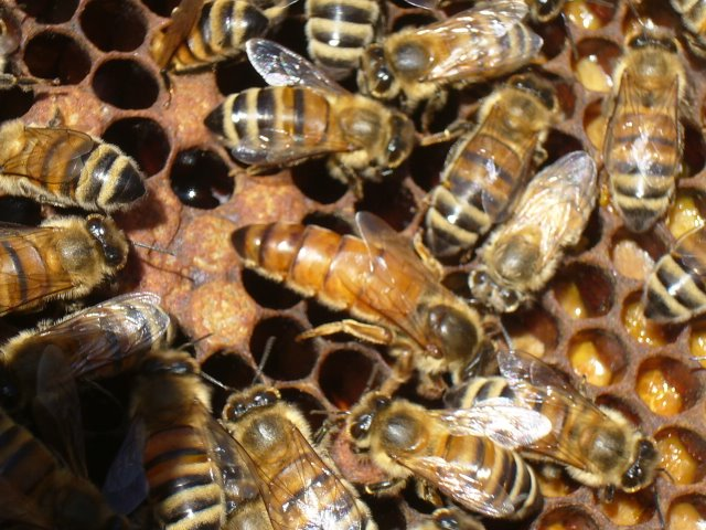 NUC Pre-order deep frames NUC with live Honey Bees /& Italian Queen