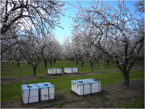 Almonds in bloom in Central Valley last season