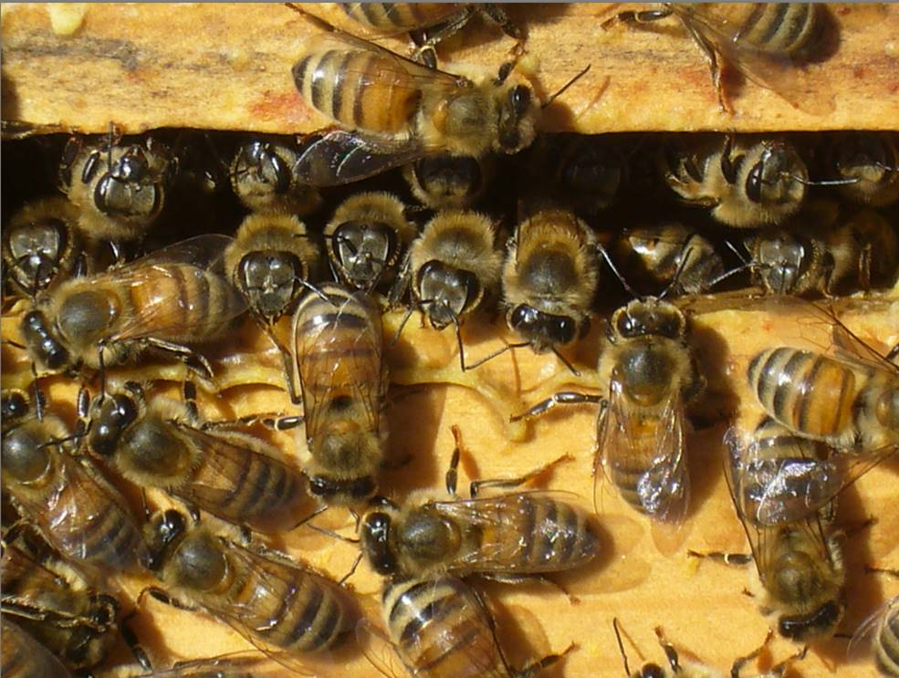 First Year Care For Your Nuc Scientific Beekeeping