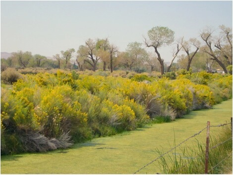 Figure 1. For many years moved my hives to fatten up on the late-summer bloom of Rabbitbrush, here in bloom along an irrigation ditch in Nevada. Colonies wintering with a good reserve of beebread made from high-quality fall pollen require little or no stimulation to be in great shape for almonds.