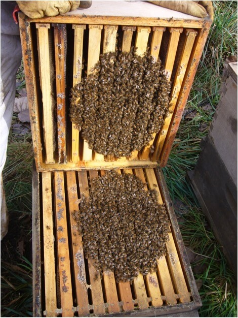 Figure 1. The bees in this tight winter cluster in one of my hives appear to be uniformly distributed. But a puff of smoke will quickly indicate otherwise. This colony is not heavy on winter stores, as evidenced by the lack of full combs of honey in the upper box.