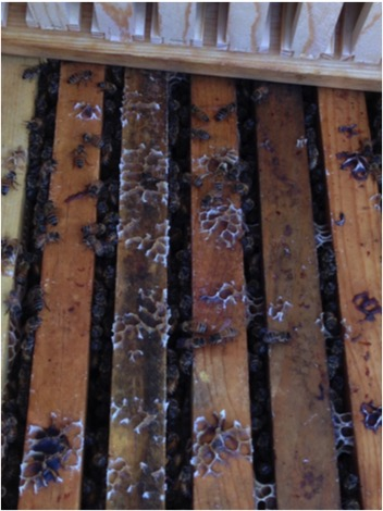 Figure 1. A typical hive at the start of the experiment—filled with nectar below, a box of foundation above. The colony is producing white wax from a natural nectar flow. Would the feeding of a half gallon of syrup increase weight gain above that of the syrup alone?