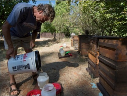 Figure 1. I'm pouring mixed sugar syrup into 1-gallon chick waterers for feeding. I scattered straw in the feeder troughs to prevent drowning and to allow unrestricted uptake of the syrup by the bees. I placed the feeders on the top bars of the box of foundation, and covered them with an empty box for protection.