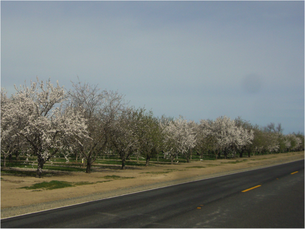 "Figure 1.  An almond orchard in late February, showing the flowering of rows of different cultivars required for cross pollination.  The bare ""late"" varieties have not yet bloomed; the green ""early"" pollenizers have finished bloom.  Grading of colonies is normally done during the bloom of the main crop (usually Nonpareil)."