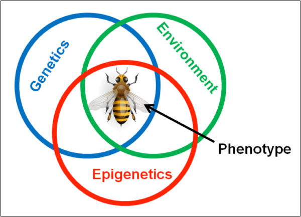"Figure 1. The phenotypic traits (observable variations in form, color, behaviors, or physiology) of a bee are the result of inherited genetics and epigenetics, as well as the regulation of gene expression due to environmental cues or triggers. Many of the traits for varroa resistance may not require novel mutations, but rather simple up- or down-regulation of existing genes. A genetically-diverse population of bees will contain a large ""toolkit"" of potential traits, due to the presence of a variety of alleles for each gene (which can then be used in various combinations), as well as a diversity of epigenetic expressions."