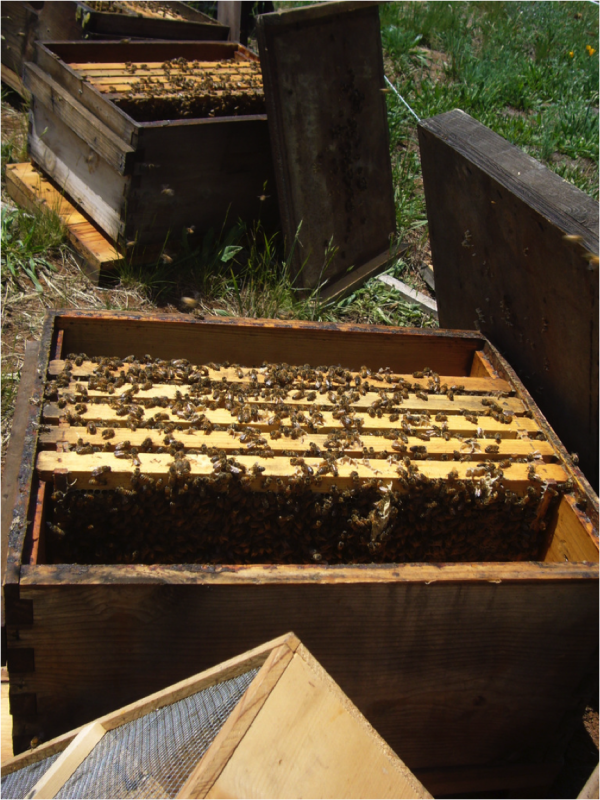 Figure 1. We began the trial by equalizing all colonies to three frames of brood and a total of five frames covered with bees, adding shook bees, if necessary, brought to the yard in packages.