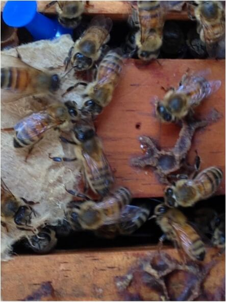 Figure 2. The bees most enthusiastically removed paper saturated with thymol dissolved in glycerin, tugging passionately at the strands. The glycerin solution, being lipophilic, would be expected to adhere to their skins, thus better distributing the thymol vapors throughout the hive.