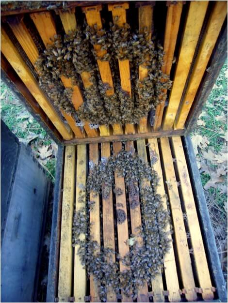 "Figure 2. A few seconds after a puff of smoke, the loosely-clustered (and higher temperature) bees from the center have moved away, whereas the tightly-clustered bees in the ""insulating shell"" are still unable to budge. Within the confines of the insulating shell, surprising physical phenomena take place."