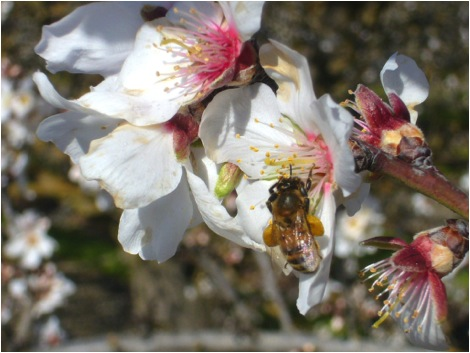 Figure 2.  Almond pollen and nectar is loaded with the toxic and bitter cyanogenic glycoside amygdalin, yet honey bees thrive on it.  The bee is apparently preadapted to detoxify this class of chemicals since they are commonly produced by a number of European fruit trees in the rose family.