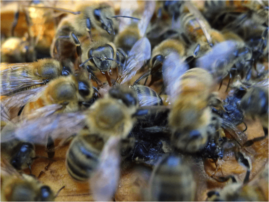 Figure 2. Immediately after a bee is crushed on the top bar, other bees clamber over it and rapidly lick up all its fluids. The inadvertent crushing of bees during hive manipulations is analogous to creating dysentery in the hive, and can facilitate the transmission of pathogens.