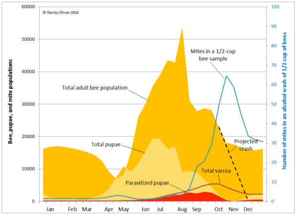 Figure 3. Beekeepers in northern climes (as illustrated here) have it easier, since varroa can only increase when colonies are rearing brood. In contrast, for those beekeepers in southern climes, mite reproduction begins in earnest earlier in the season, and varroa buildup can be far greater than indicated in this graph. Here you can see the amount of varroa hidden in the brood (red), and why alcohol washes suddenly spike in late summer (due to the amount of brood and adult bees rapidly decreasing relative to the number of mites in the hive). What's important to realize is that even if a beekeeper applies a miticide that blasts all the mites off the adult bees in September [10], there is still a huge reservoir of mites in the brood that will soon take their place.