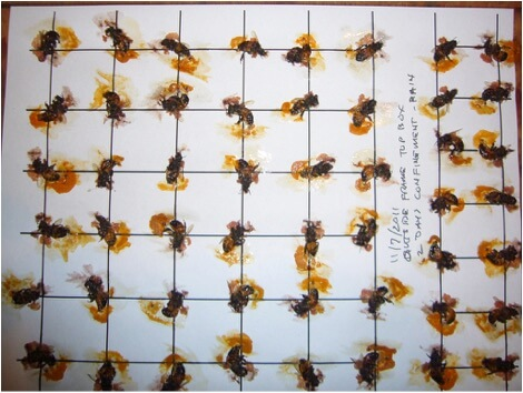 Figure 3. In this sample of 50 bees, taken from the outer frame of the upper hive body on November 7, following 2 days of confinement due to rain, every single bee had a gut full of pollen.