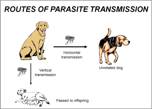 Figure 3. There are two modes of transmission of parasites from host to host. Horizontal transmission favors virulent parasite strains. Stable and benign parasitic relationships typically transmit vertically from parent to offspring.