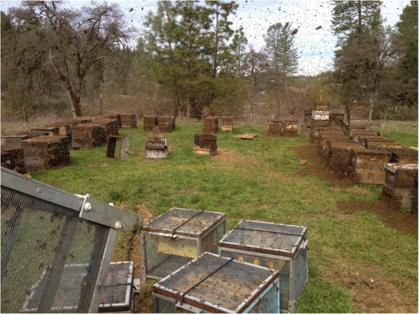 Fig. 3. Some of the hives shortly after dumping 10 lbs of bulk bees in front of each. That's enough bees to cover all 20 frames of drawn comb in each hive. Most all the queens were accepted and recommenced laying immediately.