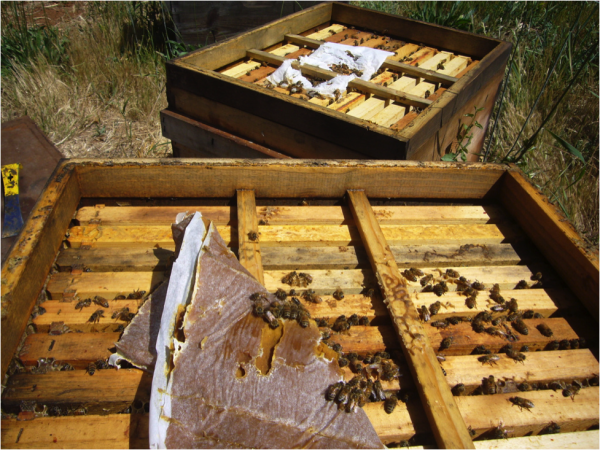 Figure 3. Note the minimal in consumption of the pollen sub patty (foreground) after 10 days, whereas the bees had devoured every bit of fondant from the control patty in the background. Such avid consumption of the fondant was typical throughout the trial, despite abundant nectar coming in.