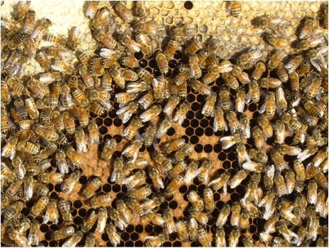Figure 4. This colony is under nutritional stress. There is adequate honey, as well as some incoming nectar (as evidenced by the number of bees with distended abdomens). But the lack of beebread and the shot brood pattern are clear evidence of a shortage of protein. If there were young larvae present, they would be lying in scant puddles of jelly. This colony will rapidly decline in strength.
