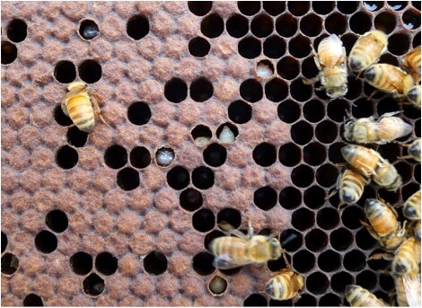 Figure 4. Although this colony is still bursting with bees at the end of the main flow, a DWV epidemic is well underway. Note the discolored and dying propupae and pupae, as well as the workers to the right with deformed wings. Of note is that I often do not see any workers with deformed wings at this stage, but always see dying propupae. Unless something is done to reduce the mite population stat, this colony won't make it 'til winter.