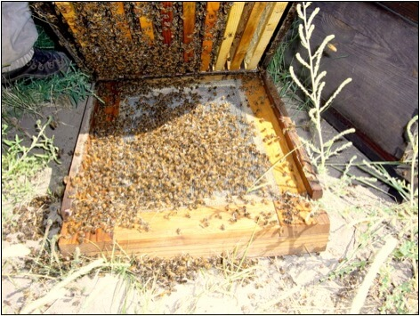 Figure 4. In Type 2 syndrome, anywhere from a handful to thousands of bees drop quivering to the bottom of the hive. This has all the appearances of a pesticide kill, but I see it from time to time in areas free of pesticide exposure, usually in only a hive or two in the yard. Such kills can occur at any time of the season.