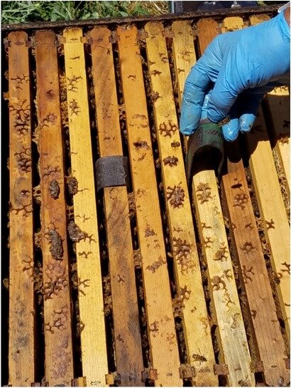 Figure 4. All hives were double deeps. Here we're placing two strips per box, over brood frames. For an absorbent cardboard, I used strips cut from egg carton lids.