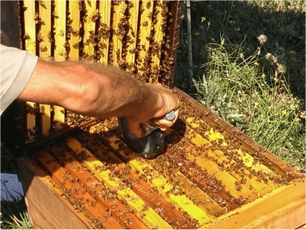 Figure 4. Using a rubber wheel to crush about 30 bees on the top bars. We alternated two wheels, wiping each with 70% isopropanol between hives to avoid hive-to-hive cross contamination. Surprisingly, I found that I did not need to wear gloves to do this.