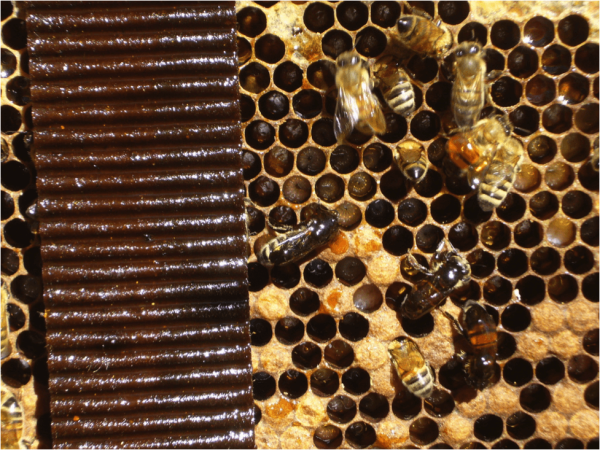 Figure 4. Any unfortunate bees that get rolled under the Hopguard strips may get covered in the sticky liquid and later die. The bees also remove the brood behind the strip.