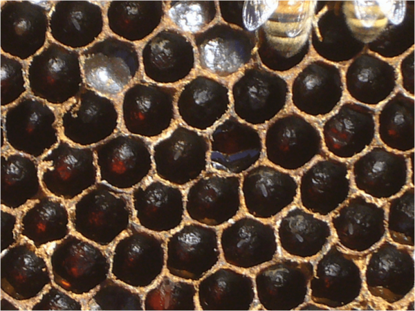 Figure 4. In a couple of days, the scratched cells were generally clean and polished, and the queens were busy laying eggs in them.
