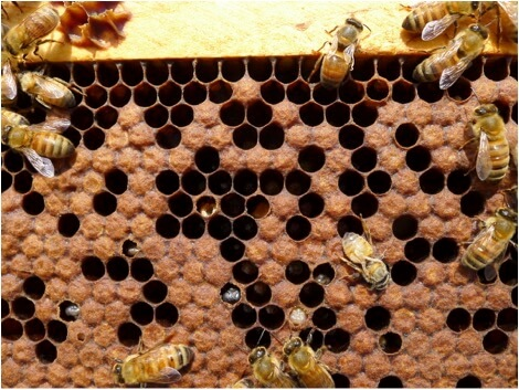 """Figure 5. It's only gonna get worse. At this stage, sick fully-developed workers die in their cells. As the undertaker bees remove the carcasses, virions are spread throughout the colony. At this late stage, this colony is essentially one of the """"walking dead"""" although it will still take some time to crash. Even if the beekeeper eliminates all the mites, the virus epidemic has reached the tipping point, and there is little chance for the colony to survive the winter."""