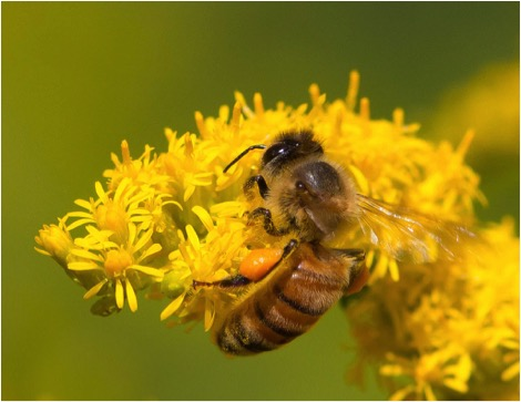 Figure 5. Due to rising CO2 levels, this bee needs to gather half again as much Goldenrod pollen as did a bee 65 years ago in order to obtain the same amount of protein. Credit for this lovely photo to Steve Burt.