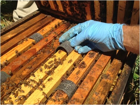 Figure 5. Here we're placing 4 strips per box (8 per hive), distributed for maximum bee exposure.