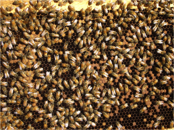 "Figure 6.  ""Shot brood"" due to EFB.  Note the fat queen near the center.  Despite her vigorous egglaying, this colony is unable to pull ahead due to excessive brood mortality. Lots of beekeepers reported EFB symptoms this winter."
