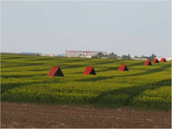 Figure 6.  Tents covering Alfalfa Leafcutter bee nest boxes in a canola field.