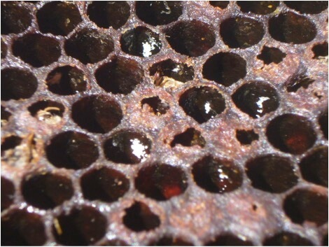 """Figure 7. A close up of the mites' guanine fecal deposits. To view them in the field, orient the sun at your back [16], hold the frame horizontal with the bottom bar toward you, level with your eyes, so that the sunlight illuminates the cells' """"ceilings."""" If you see white deposits in the scattered remaining brood cells of a deadout, that's the signature of collapse due to varroa."""