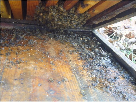 Figure 7. This hive was inadvertently tipped backward slightly during winter, thus preventing water from draining out the entrance. I find that a wet bottom board in winter often spells death to a colony.