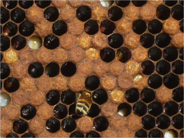 Figure 7.  You really have to look hard in some colonies with spotty brood to see the cause!  Two larvae in this photo show signs of EFB infection.