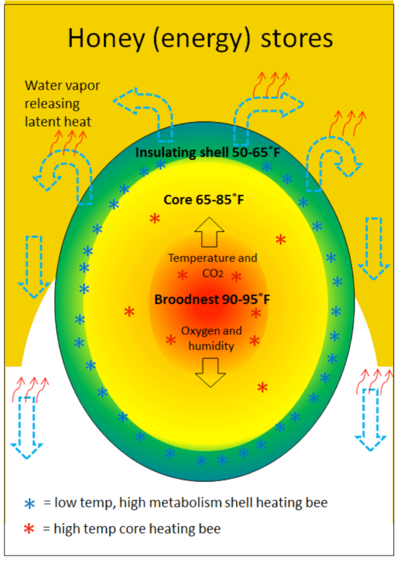 Figure 8. In this stylized diagram, I've illustrated the physics taking place in the winter cluster. The large mass of tightly-packed, inward-facing bees in the insulating shell continually generate (asterisks) just enough heat to remain above chill temperature—pumping that heat inward from their thoraces to their heads. Scattered bees in the core raise their thoraces to 100˚F to heat up their surroundings, which may then force the shell bees to loosen up and expand the size of the cluster. If the colony needs to rear brood, heater bees in the center of the core will tightly regulate temperature there to around 94˚F.