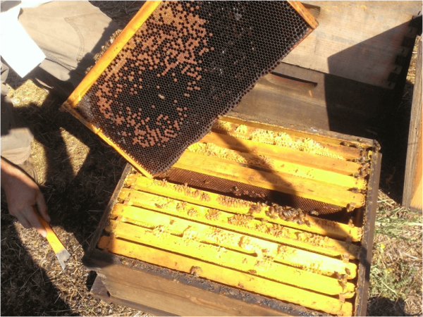 Figure 13. The aftermath of a follow-up 60-mL flash. A pile of dead bees (at the hive tool), the colony largely depopulated and queenless, most of the open brood killed. Not all colonies fared this badly, but it was quite clear that a colony needs a longer break between flash treatments [15].
