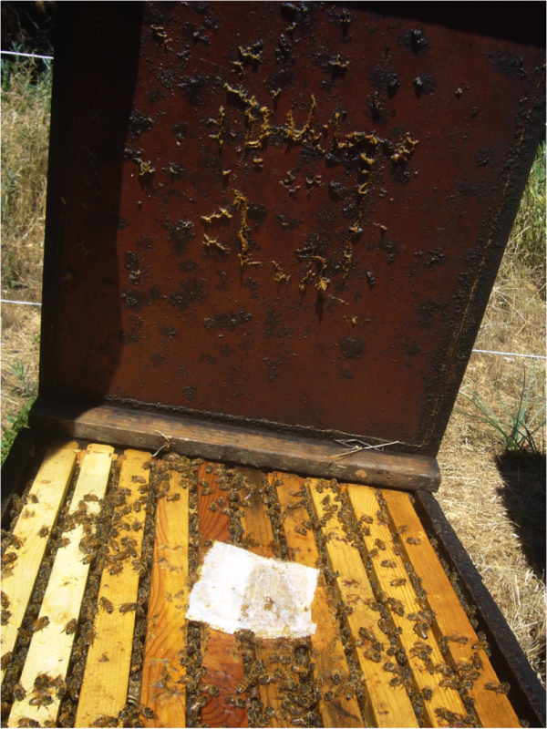 Figure 16.  A half of a MAQS applied directly under a dark lid to a strong single during 90°F weather.  Note on the lid above how the bees sealed around the edge of the strip with propolis, which traps the formic vapors, allowing exchange into the cluster only at the interspaces between the frames.  This colony is stronger than those for which I collected the data above.
