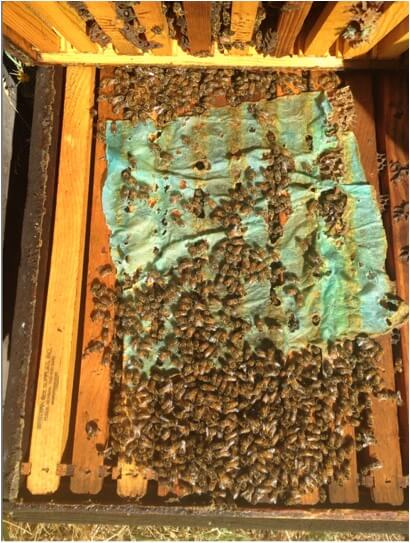 "Figure 20. The bees work at the ""dry"" towels at a nice rate, thus exposing themselves to OA."