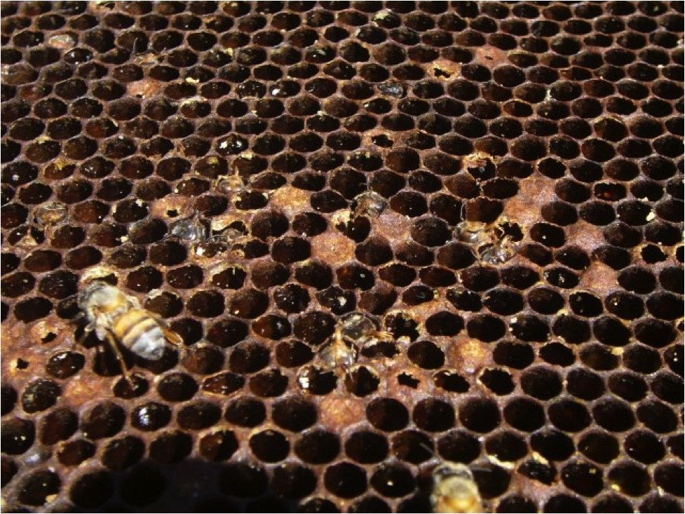 Bee Colony succumbed to a varroa/DWV collapse