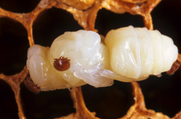 varroa on pupa